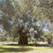 olivetree150BC