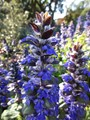 Blue Salvia: One Stem, Many Blooms