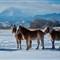 3 Horses in Snow