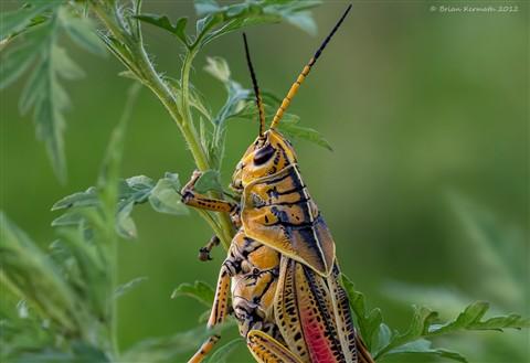 Eastern or southern lubber grasshopper (Romalea guttata)