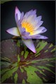 waterlily and leaf
