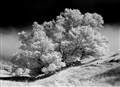 Tree on the hill (infrared)