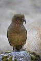 The Kea is a native New Zealand parrot.