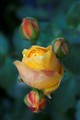 yellow's rose