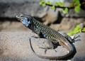 Tenerifem lizard