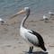 Pelicans and Gulls-1