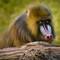 Phoenix Zoo Baboon