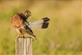 Scratching kestrel