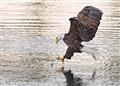 Eagle pick up