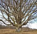 Big oak tree in Sweden.