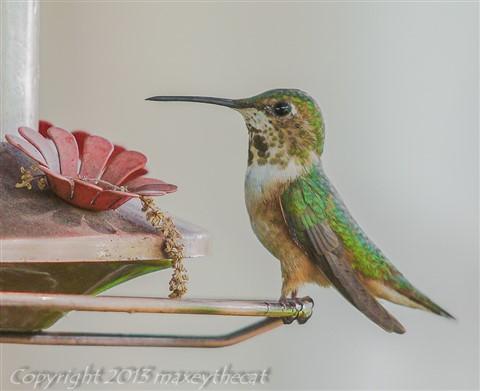 Hummingbird Saturday 1