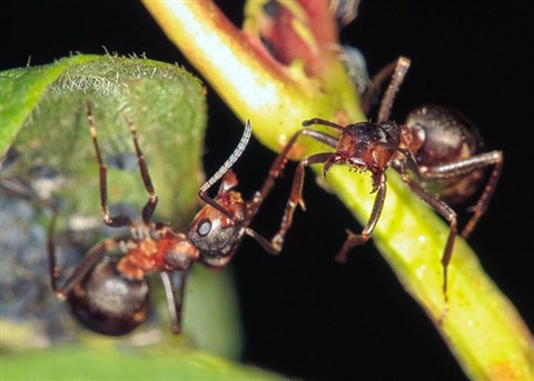 Ant solidor in Defense