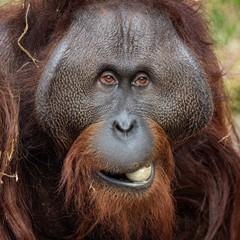 Hungry Orangutan