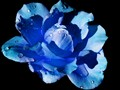 Blue Rose on a black background