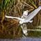 American egrets _MG_4692