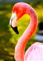 flamingo_san_diego