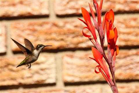 Female Ruby Throated Hummingbird in fight