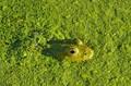 Camouflagegreen