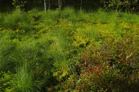 repost: hemiboreal bog on a sunny late summer day