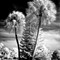 Palms in infrared challenge