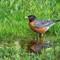 Robin in Water