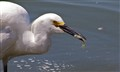 An Egret with the catch of the day