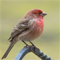 Male House Finch on plant hanger
