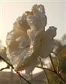 rose 101-3449