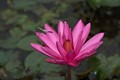 Untouched-Blue dragon fly-Pink Lily-cloudy morning