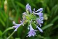 blue agapantha