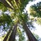 Muir Woods: The towering giant sequoia trees of Muir Woods