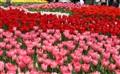 Tulips @ Keukenhof