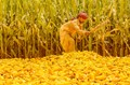 Sun Drying Corn