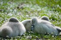 A group of swan ducklings taking a nap under the warm summer sun. Taken at Hyde Park, London, United Kingdoms.