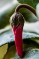 Bashful Cyclamen Bud