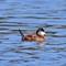 IMG_6905_ruddy duck