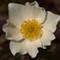 P6011367 fiore bianco