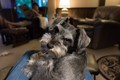 """Louie the Toy Schnauzer with his """"what do you want now look"""""""
