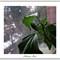 Hybiscus bud