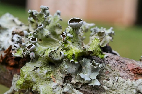 Lichen from fallen maple tree
