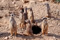 Meerkat family watchful