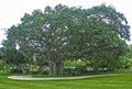 Banyan Tree and its Roots
