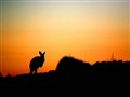 Kangaroo Sunrise Silhouette