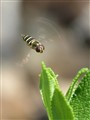 A little hover fly