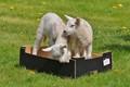 Kayed Lambs.