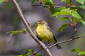 Palm Warbler with new blooms