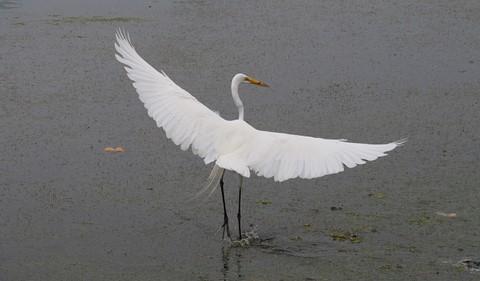 Egret at lagoon