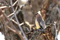 Yellow Waxwing