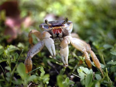 Caribbean Land Crab