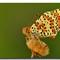 Spoted Fritillary